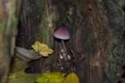 Grote bloedsteelmycena / Bleeding fairy helmet (Mycena haematopus)