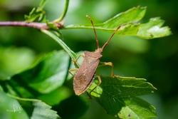 Smalle randwants / Box Bug (Gonocerus acuteangulatus)