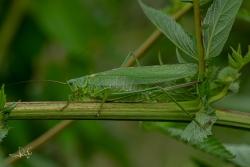 Grote groene sabelsprinkhaan / Great Green Bush-cricket (Tettigonia viridissima)