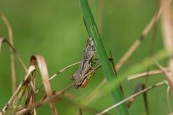 Bruine sprinkhaan / Field Grashopper (Chorthippus brunneus)