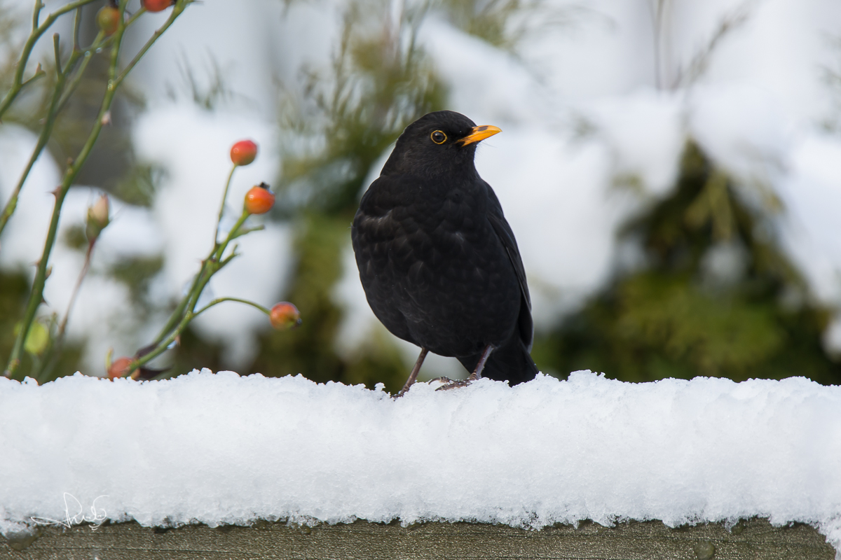 Merel / Common Blackbird (Turdus merula)