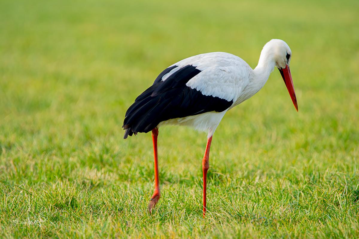 Ooievaar / White stork (Ciconia ciconia)