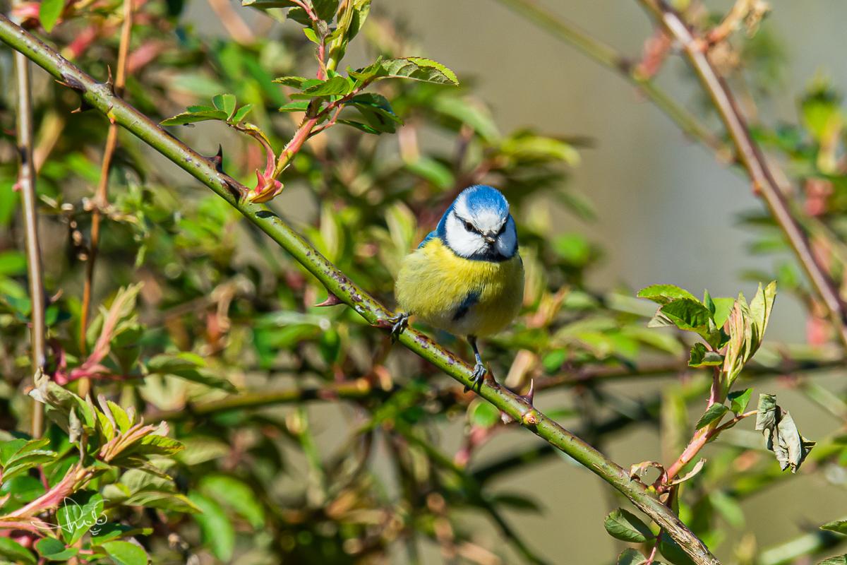 Pimpelmees / Blue Tit (Cyanistes caeruleus)