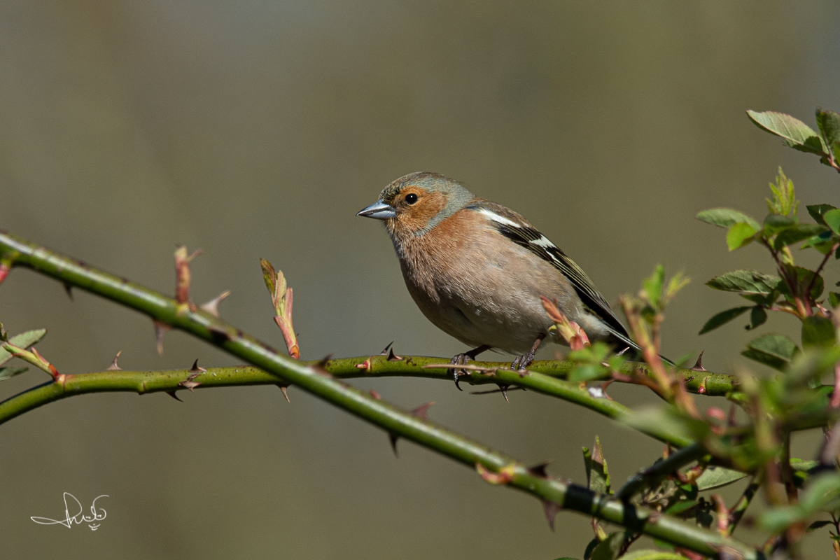 Vink / Common Chaffinch (Fringilla coelebs)