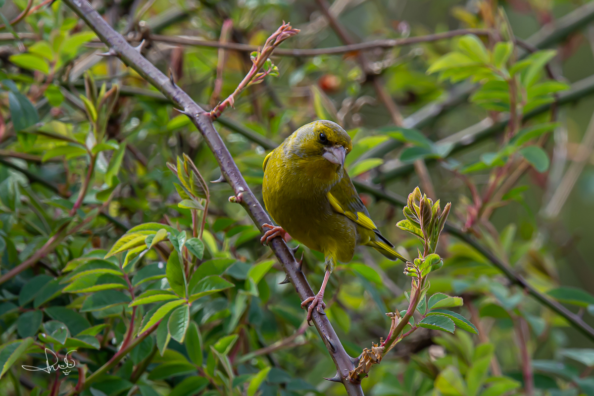 Groenling / European Greenfinch (Chloris chloris)