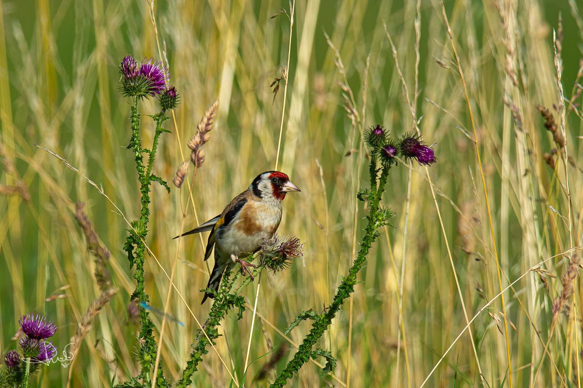Putter / European Goldfinch (Carduelis carduelis)