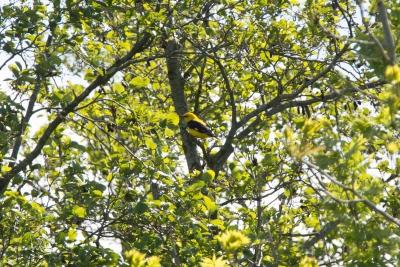 Wielewaal / Eurasian Golden Oriole (Oriolus oriolus)