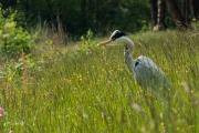 Blauwe reiger / Grey Heron (Ardea cinerea)