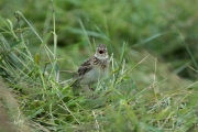 Veldleeuwerik / Eurasian Skylark (Alauda arvensis)