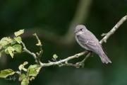 Grauwe Vliegenvanger / Spotted Flycatcher (Muscicapa striata)