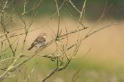 Grauwe klauwier / Red-backed Shrike (Lanius collurio)