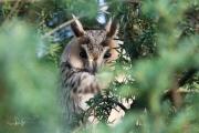 Ransuil / Long-eared Owl (Asio otus)
