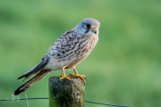 Torenvalk / Common Kestrel (Falco tinnunculus)
