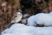 Huismus / House Sparrow (Passer domesticus)