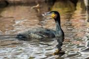 Aalscholver / Great Cormorant (Phalacrocorax carbo)