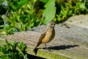 Gekraagde Roodstaart /  Common Redstart  (Phoenicurus phoenicurus)