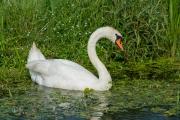 Knobbelzwaan / Mute Swan (Cygnus olor)