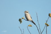 Klapekster / Great Grey Shrike (Lanius excubitor)