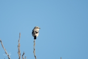 Klapekster / Great Grey Shrike (Lanius excubitor)