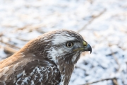 Buizerd / Common Buzzard (Buteo buteo)