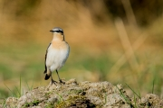 Tapuit / Northern Wheatear (Oenanthe oenanthe)