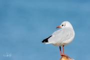Kokmeeuw / Black-headed Gull (Chroicocephalus ridibundus)