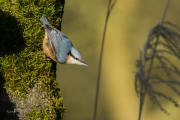 Boomklever / Eurasian Nuthatch (Sitta europaea)