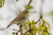 Fitis / Willow Warbler (Phylloscopus trochilus)