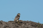 Smelleken / Merlin (Falco columbarius)