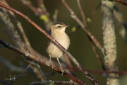 Rietzanger / Sedge Warbler (Acrocephalus schoenobaenus)