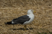 Kleine mantelmeeuw / Lesser Black-backed Gull (Larus fuscus)