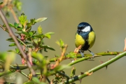 Koolmees / Great Tit (Parus major)