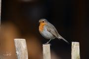 Roodborst / Robin (Erithacus rubecula)