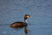 Fuut / Great Crested Grebe (Podiceps cristatus)