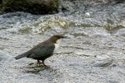 Zwartbuikwaterspreeuw / Black-bellied Dipper (Cinclus cinclus cinclus)
