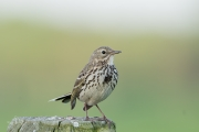 Graspieper / Meadow Pipit (Anthus pratensis)