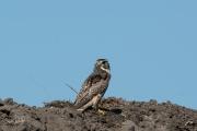 Smelleken / Merlin (Falco columbarius)
