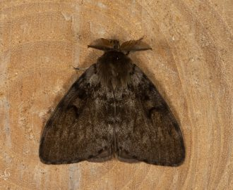 Plakker / Gypsy moth (Lymantria dispar)