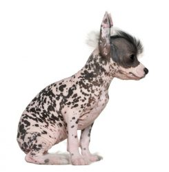Chinese-Crested-puppy-breed-minepuppy