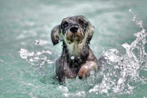 hond-zwemmen-of-zinken