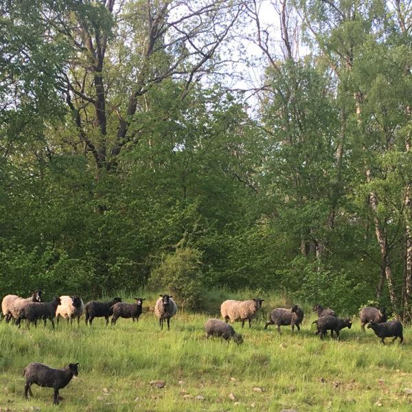 Några av fåren som du möter på vår lammsafari