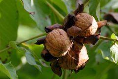 Bulgarian walnuts