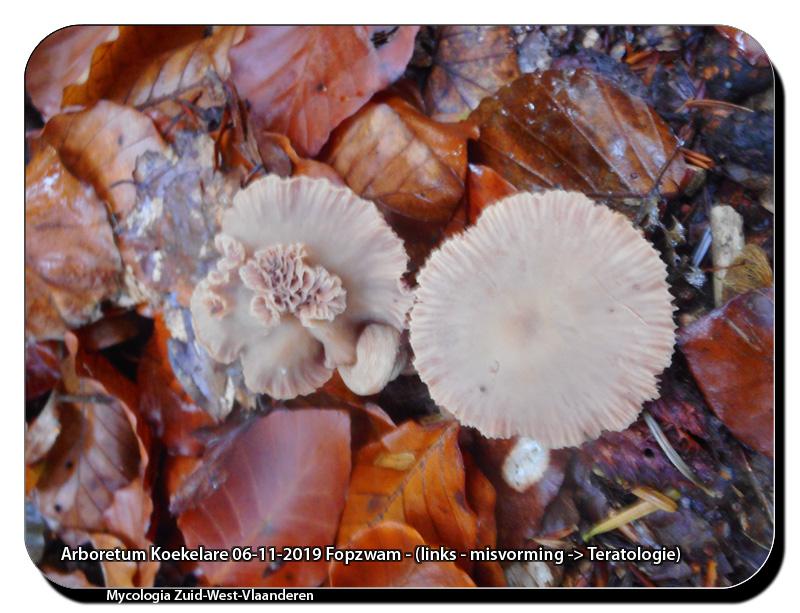 Arboretum-Koekelare-06-11-2019-Fopzwam-links-misvorming-Teratologie