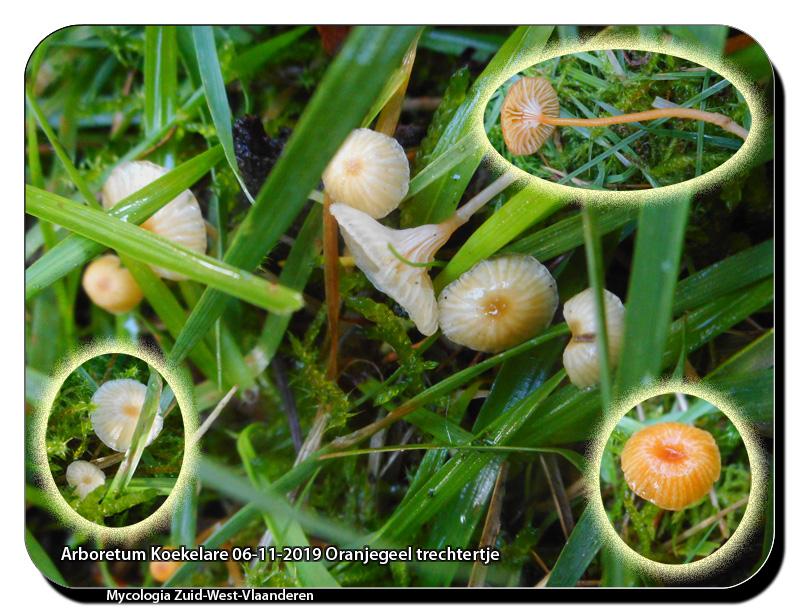 Arboretum-Koekelare-06-11-2019-Oranjegeel-trechtertje
