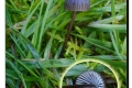 Arboretum-Koekelare-06-11-2019-Zwarte-melksteelmycena