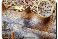 Koekelare-Arboretum-5-09-2018-Hulstdekselbekertje