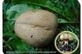 Koekelare-Arboretum-5-09-2018-Wortelende-aardappelbovist