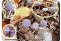 Koekelare - Arboretum 04-10-2017 Amethistzwam (Rodekoolzwam)