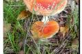 Koekelare - Arboretum 04-10-2017 Vliegenzwam