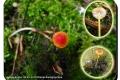 Baliekouter-08-05-2019-Oranje-dwergmycena